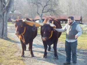 Resident oxen, Star and Bright, will be on hand to provide a driving demonstration during the Hale Farm & Village Maple Sugar Festival.